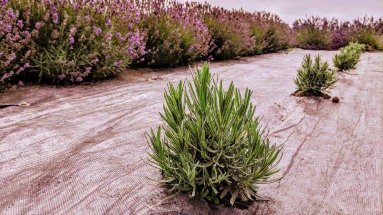 Lavender - Young Plants