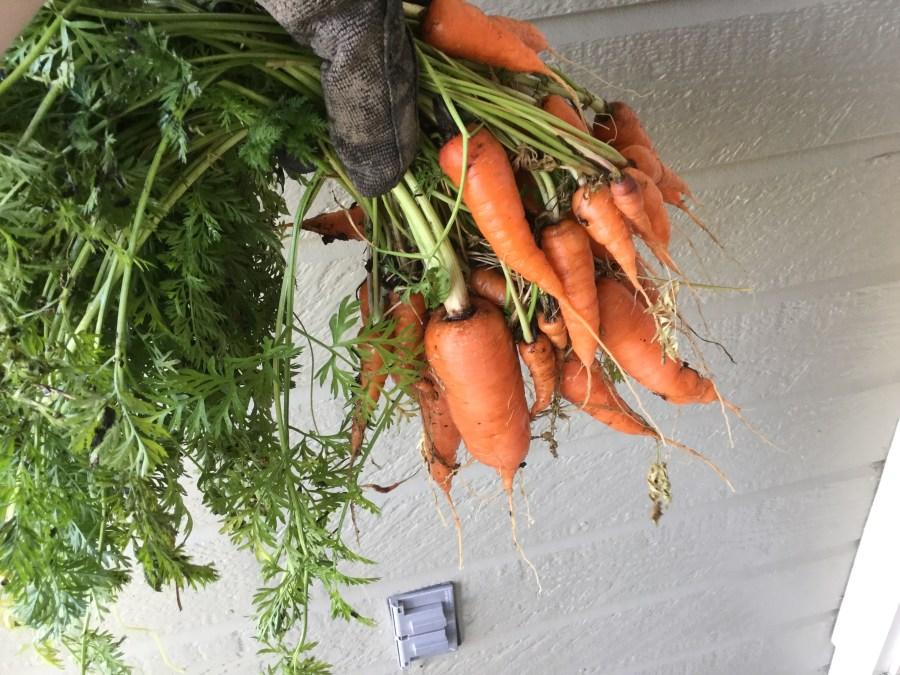 Carrot Harvest from Summer Planting