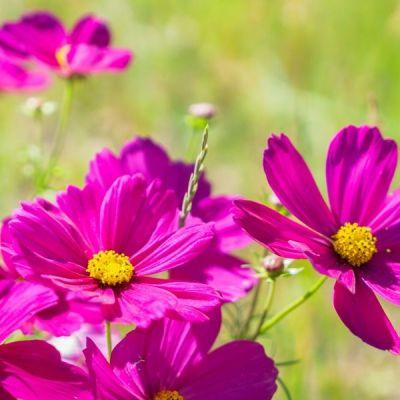 cosmos flowers in the vegetable garden