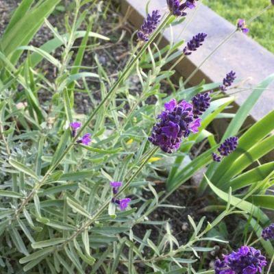 lavender flowers in the vegetable garden