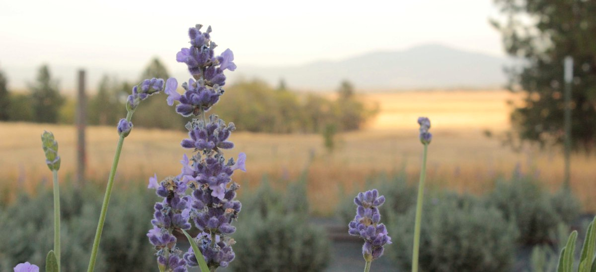 Lavender Stem at Sunset