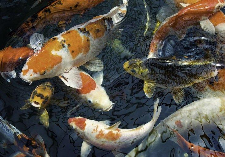 atraer energía del dinero con peces