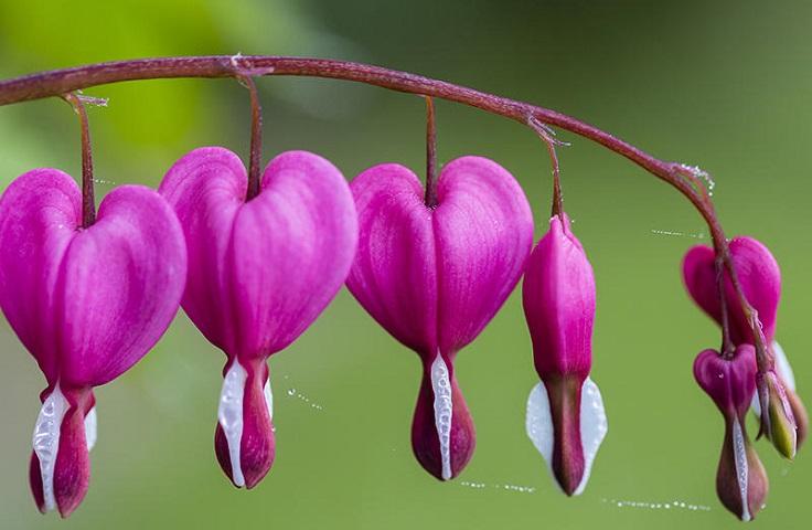 plantas de jardín corazón sangrante