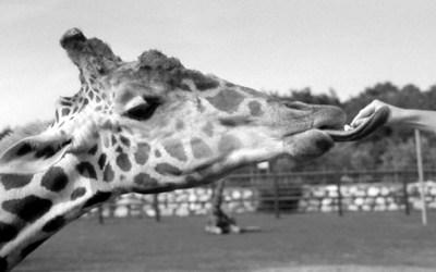 les girafes mangent aussi du pop corn!