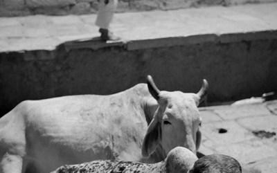 Le garçon et les vaches