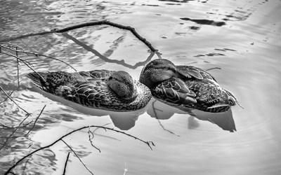 Sieste flottante des canards