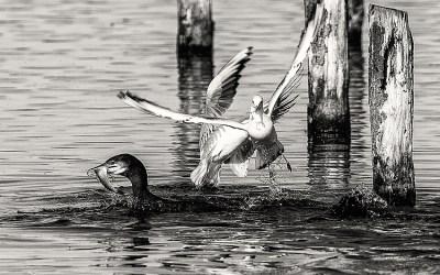 Grand cormoran à la pêche