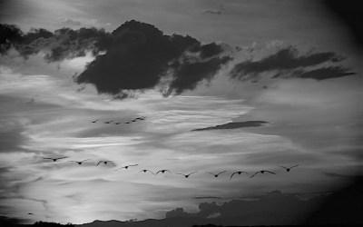 Vol de FlamanTs au Crépuscule Camarguais.