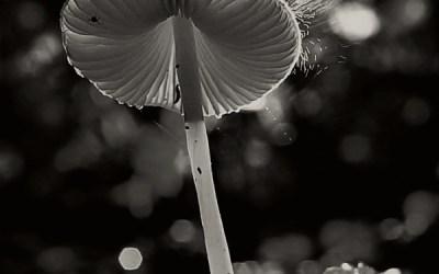 Emission des spores d'un champignon.