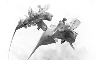 Fleurs séchées (2)