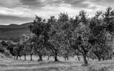 Le champ d'olivier