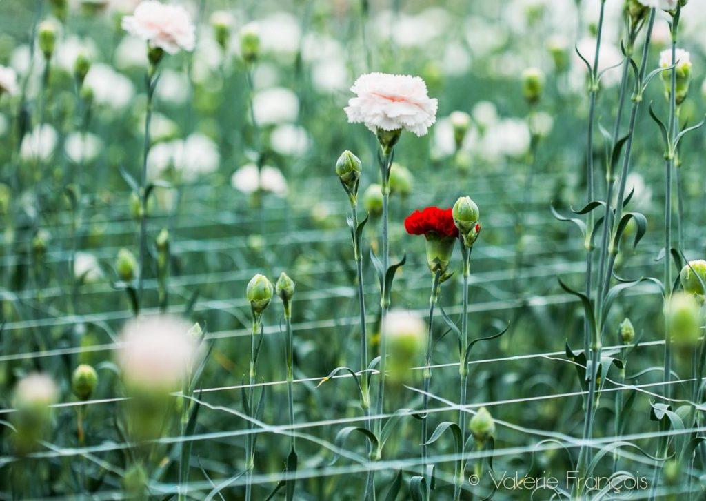 Les fleurs sont coupées le matin de la livraison. Elles arrivent ultra fraîches chez le fleuriste et donc tiennent très longtemps.