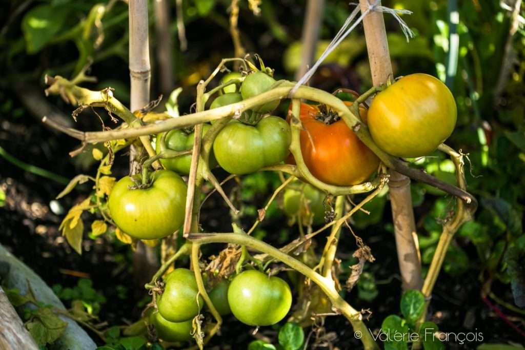 Grappe de tomates dans le jardin pédagogique de Valery Tsimba