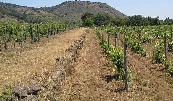 Muretti a secco tra le vigne
