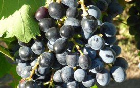Camaiola Wine Festival, da Castelvenere al Vinitaly la ri-nascita del vitigno camaiola