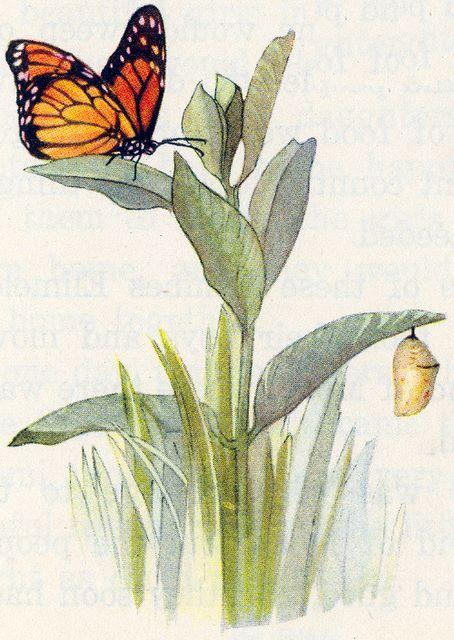 Monarch butterfly, chrystalyst, milkweed plant