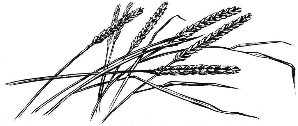 The disciples plucked grain (Matthew 12:1)