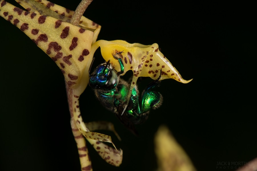 Male Orchid Bee Visiting an Orchid