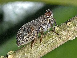 Adult Planthopper