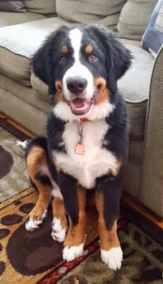 What's new? – Bernese Mountain Puppies Vermont