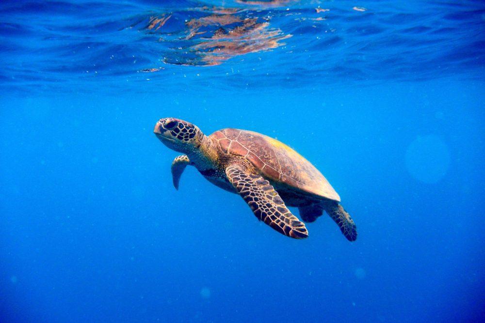 Euphorbia, la tartaruga marina data in adozione all'Erbolario per il suo impegno contro la plastica