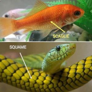 scaglie_squame