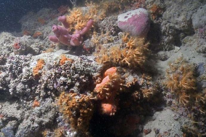 Scoperta la prima barriera corallina italiana