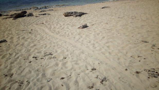 Tracce di Tarataruga Marina sulla spiaggia di Specchiarica