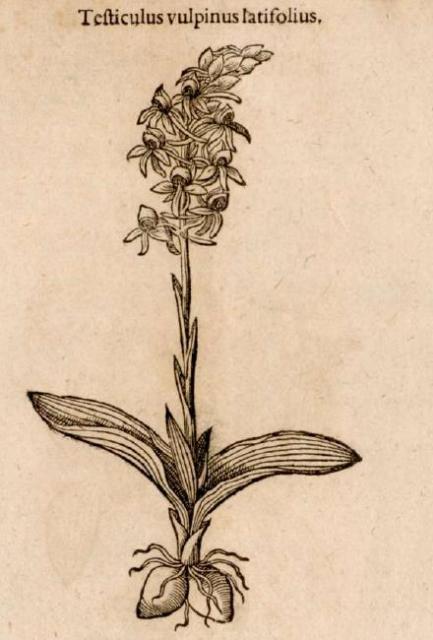 Orchidaceae e orchidee spontanee: dal mito alla magia e alla medicina popolare