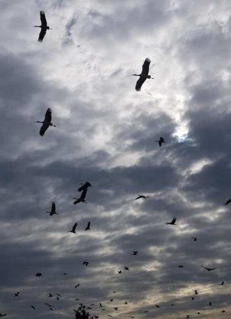 """Uno stormo di Cicogne fa tappa nel leccese... L'avvistamento presso l'aviosuperficie """"Fondone"""" di Lecce di oltre 60 esemplari. Vedi le foto"""