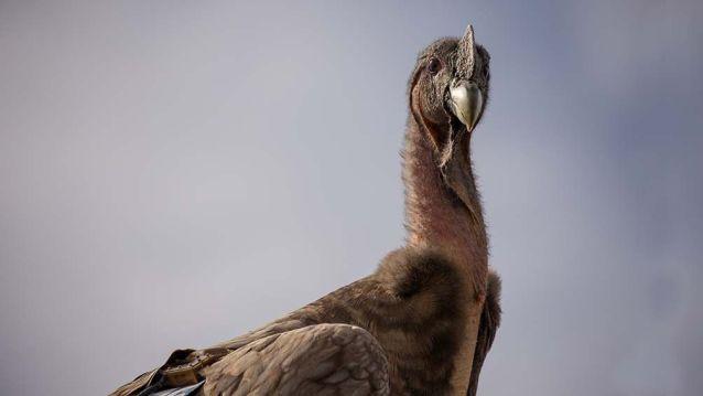 Reinsertaron 7 cóndores en su hábitat natural en la suelta más grande realizada en Argentina