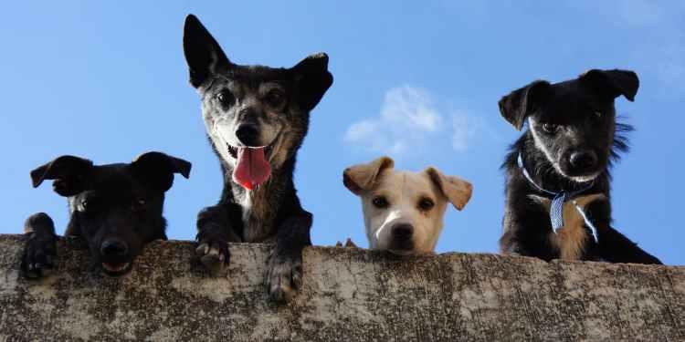 áreas caninas Pinto