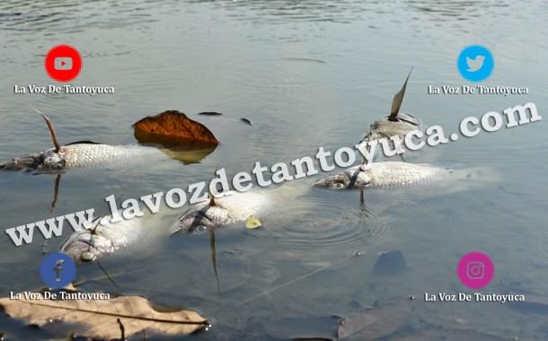 Mortandad de peces en el Jagüey Hidalgo causa indignación, en Tantoyuca