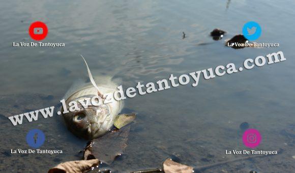Mortandad de peces en el Jagüey Hidalgo causa indignación, en Tantoyuca | LVDT