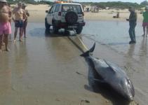 Aparece un delfín muerto en la playa de Vistahermosa de El Puerto