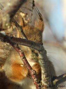 fotografering ekorn vil ikke frem fra grenene