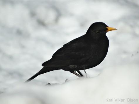 svarttrost hann andre trekkfugl 23 03 2016 – Kopi