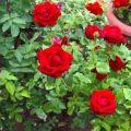 Cuidado y mantenimiento de rosales 6