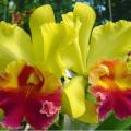 Métodos para abonar orquídeas para floración 3
