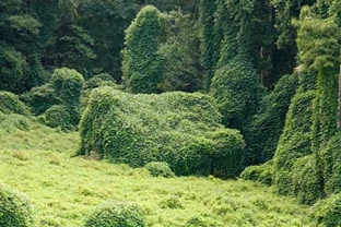Kudzu Plant History, Identification, and Control