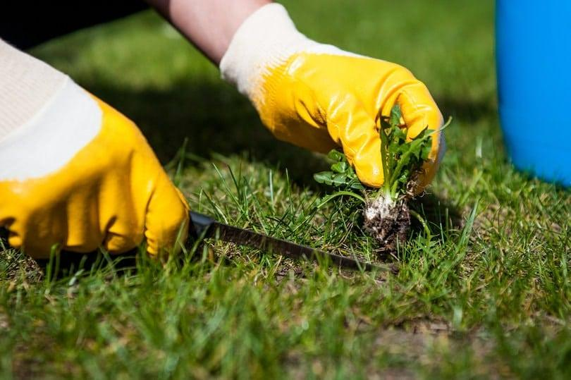 Gardener removing the small pieces of weeds from his garden