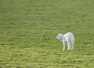 lost sheep-2