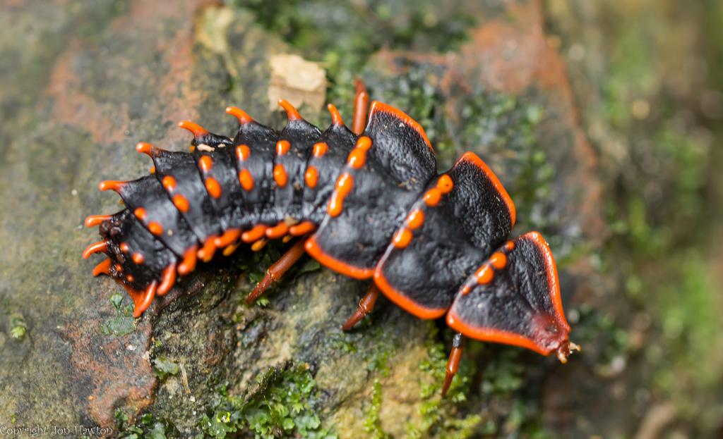 Trilobite Beetle An Asian Alien Lazer Horse