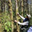 Measuring growth on Big-Leaf Maple sapling