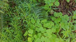 Cleavers and Duck Foot