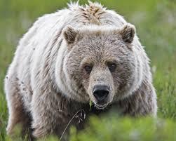 bear_montana_ bear_whistle_travel