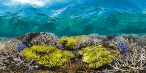 Image of coral bleaching in New Caledonia - copyrights Chasing Coral (chasingcoral.com)