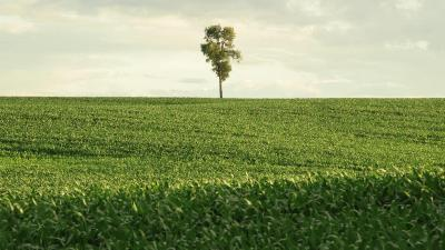 Single tree on the horizon of corn field
