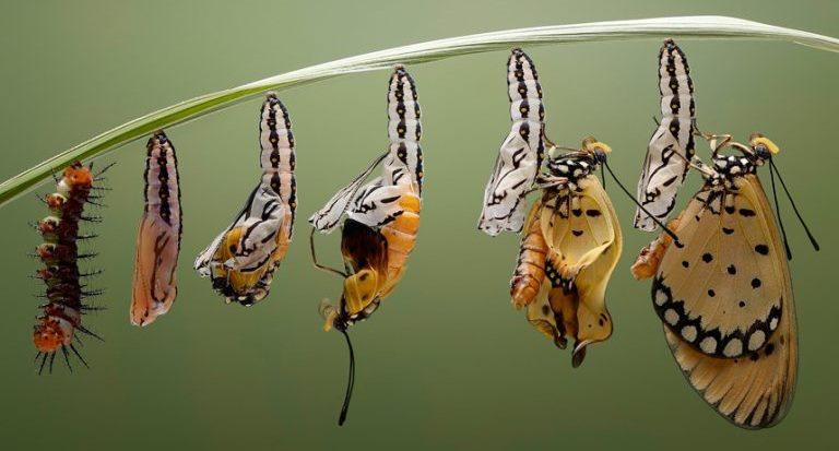 La transformation de chenille, en chrysalide et en papillon