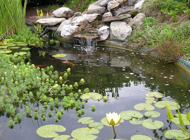 quelles sont les plantes aquatiques indispensables dans un bassin